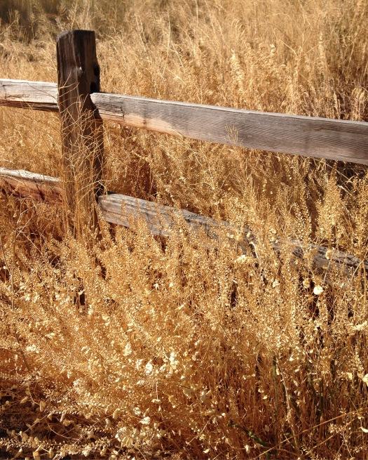 Dried grass at the Reno arboretum